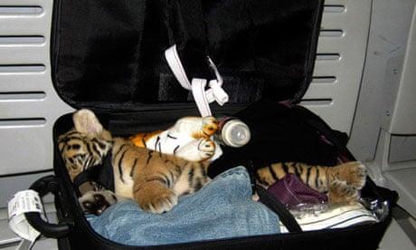 tiger-cub-007 (1)